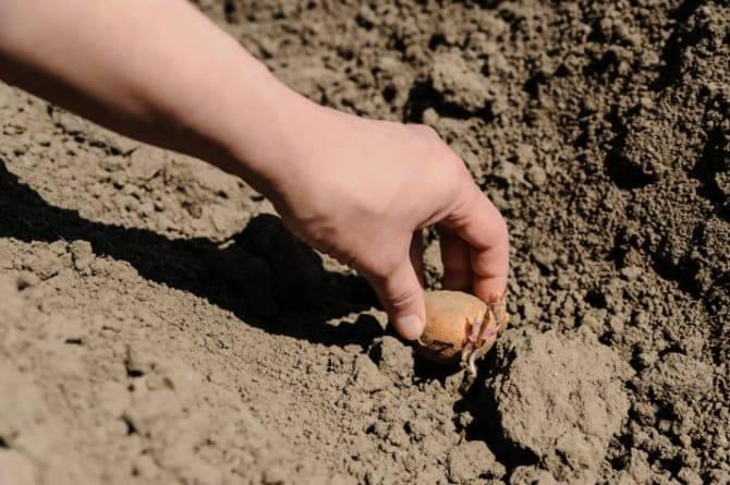 Как сажать картошку под лопату и вносить удобрения